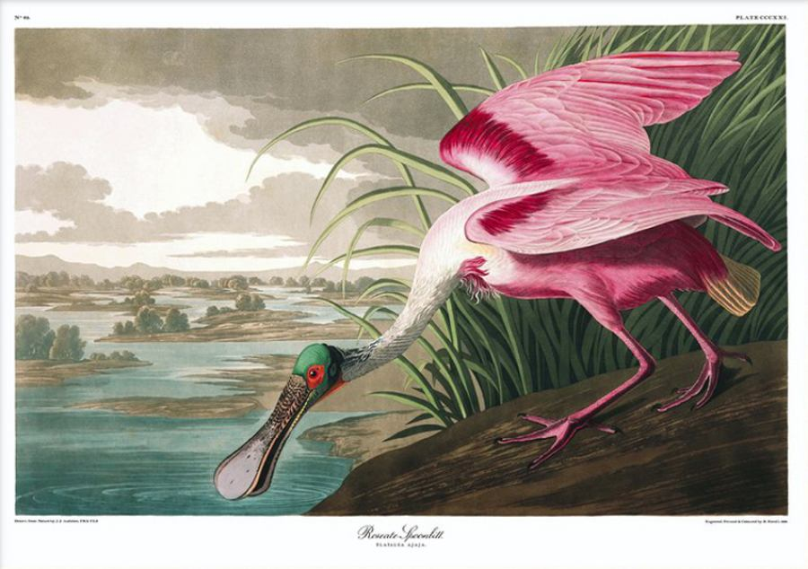Roseate Spoonbill - Poster print | Kunstbaron