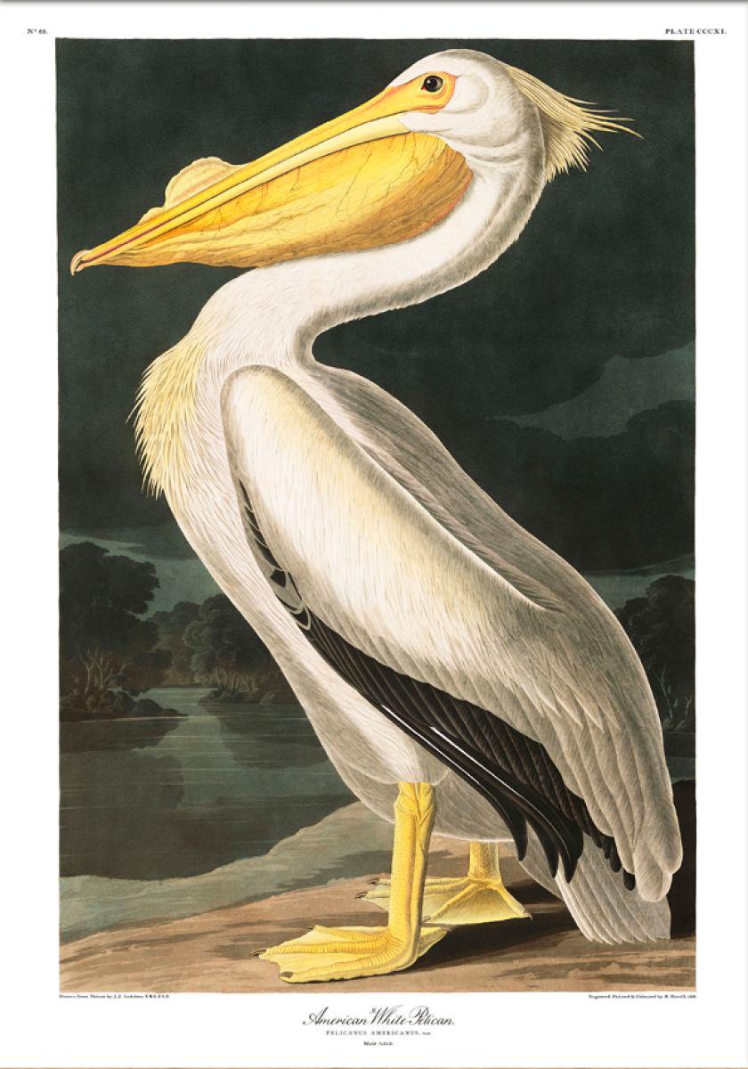 American White Pelican -  poster print  | Kunstbaron